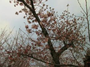 姫路城と桜001