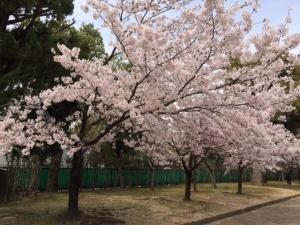 姫路城と桜9