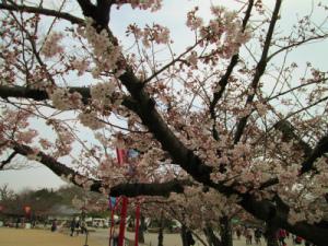 姫路城と桜003