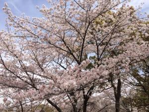 姫路城と桜7