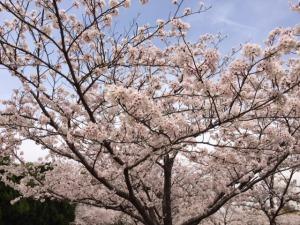姫路城と桜8