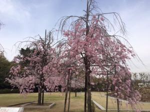 姫路城と桜6